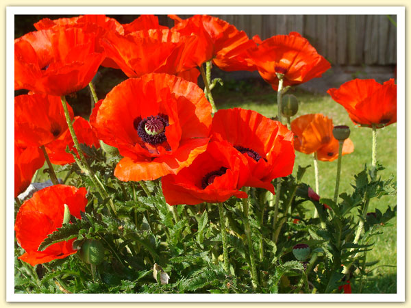 Poppies of Remembrance and Peace